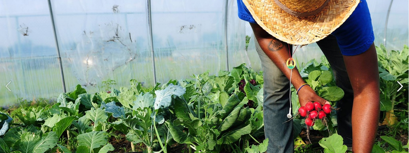 A worker pulls radishes in one of Real Food Farm's hoophouses